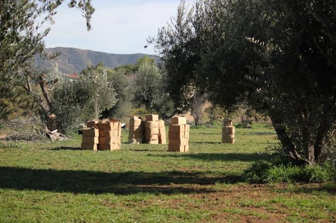 Olive trees, harvesting leaves