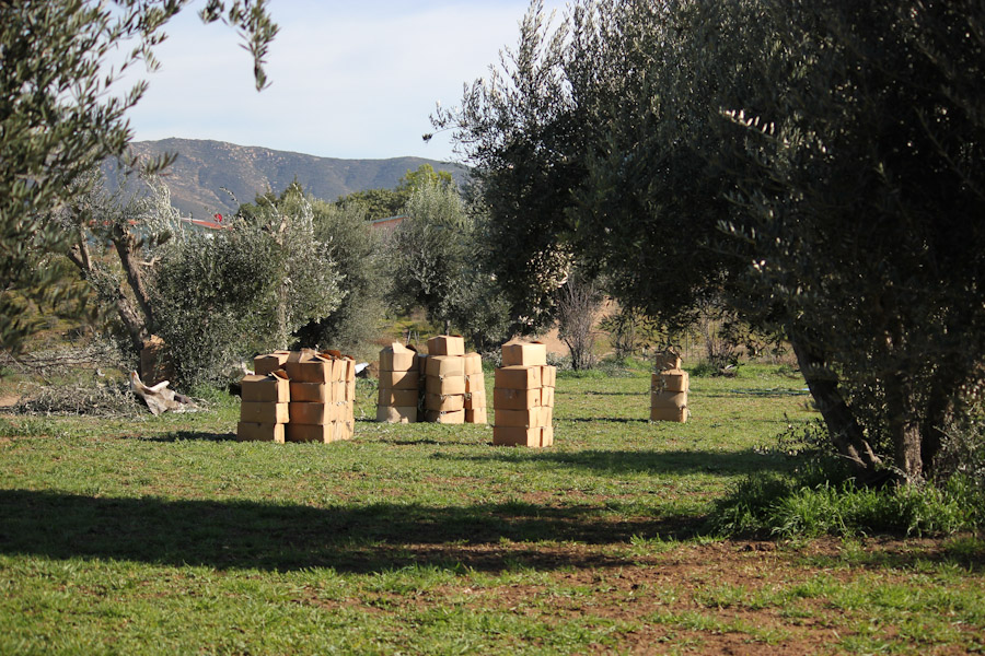 Olive trees, harvesting leaves