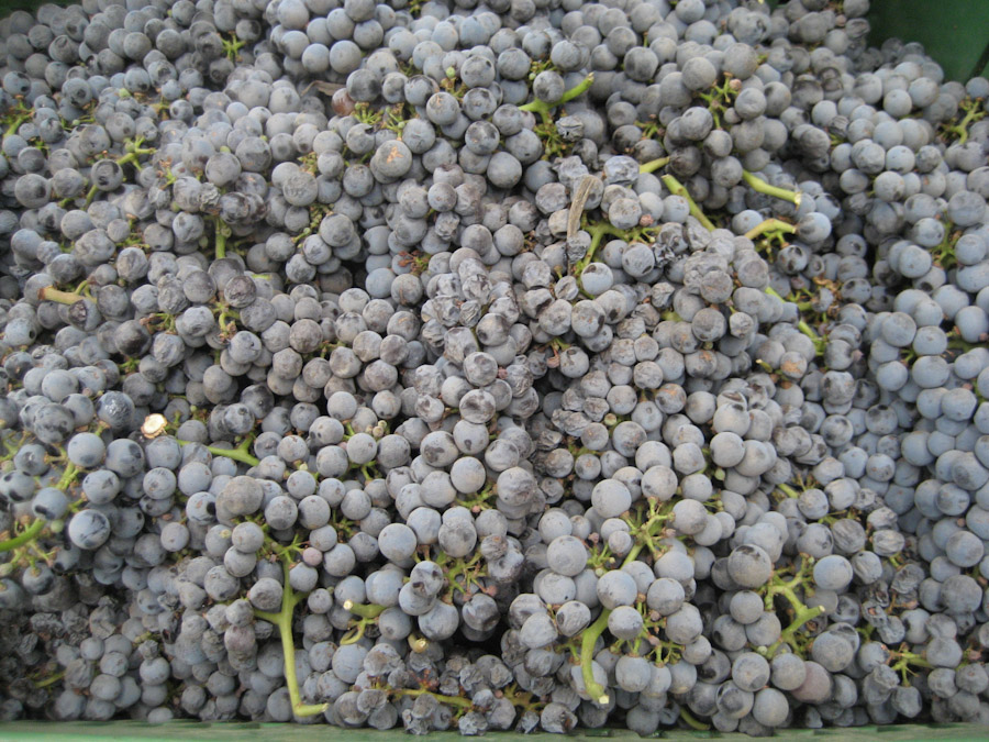 Red grapes used for Seagate Grape Seed Extract