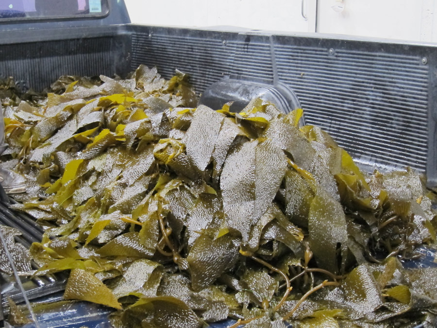 Seagate Seaweed and Japan's Fukushima Radiation Discharge