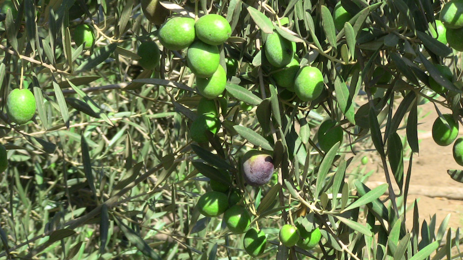 Ripened olives ready for harvest