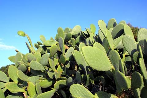 Trading Diet Pills for Nopal Cactus