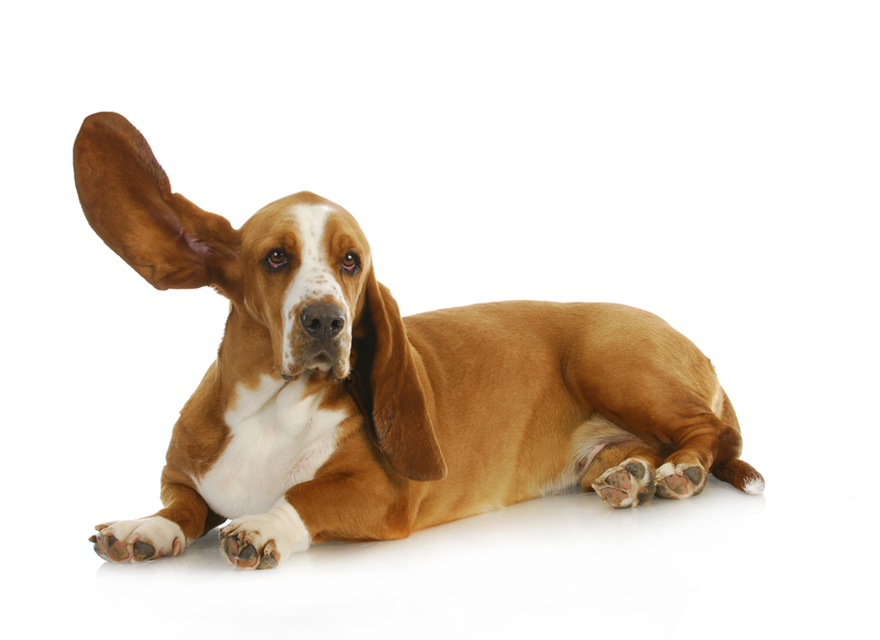 Natural Remedies for Your Dog's Ear Infection