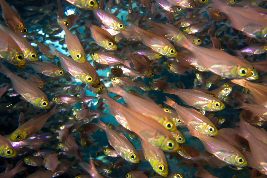 Anchovies in a Red Sea cave