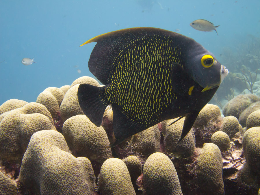 Queen Angelfish, Bonaire