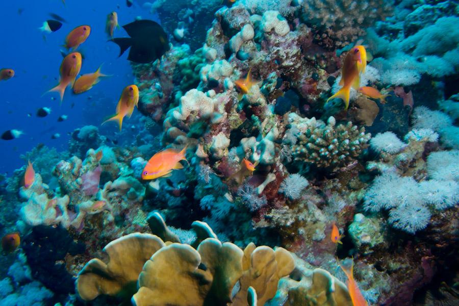 Reef fish Sinai Egypt