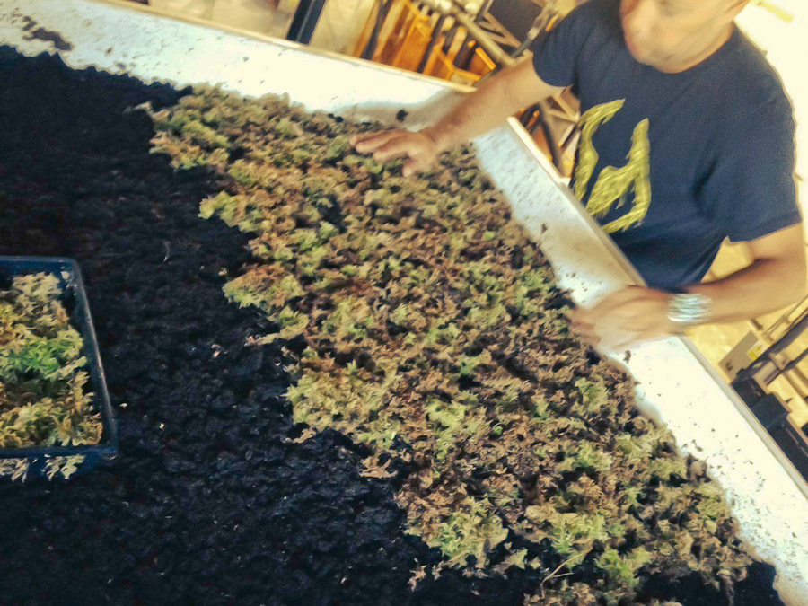 Jose planting sphagnum moss in biological filter