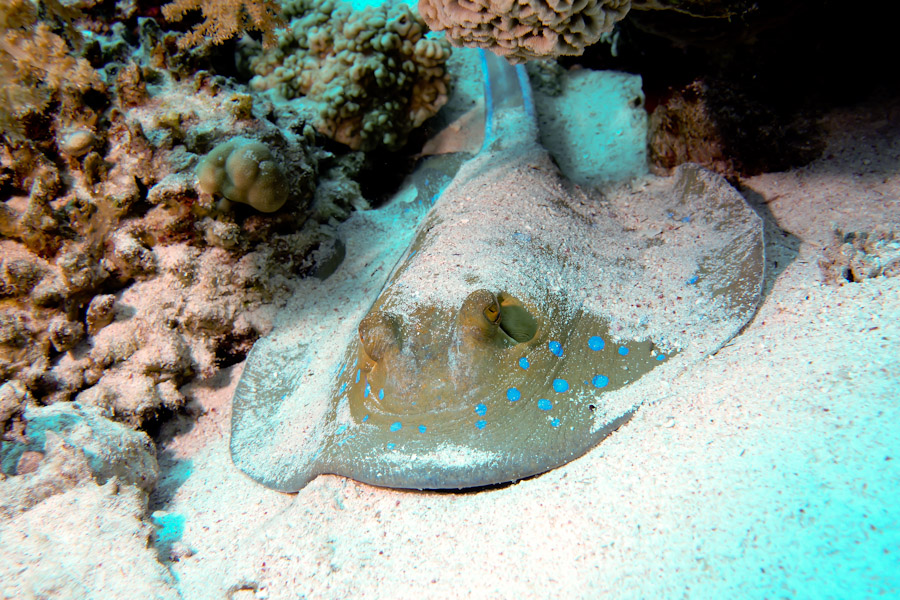 Blue -spotted stingray emerging from hiding in the sand, Sinai Egypt.