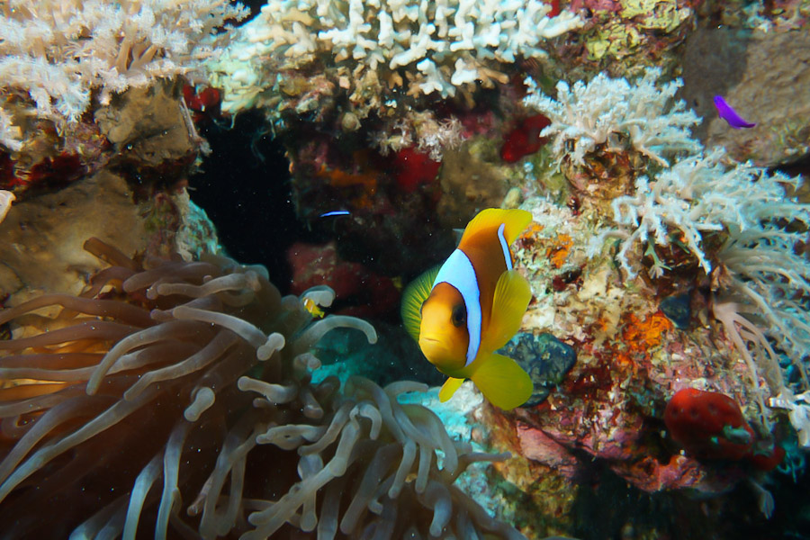 Clownfish hiding in sea anenomes