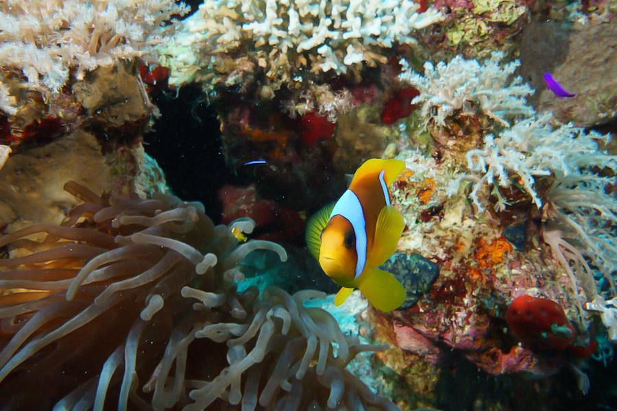 Clownfish hiding in sea anenomes