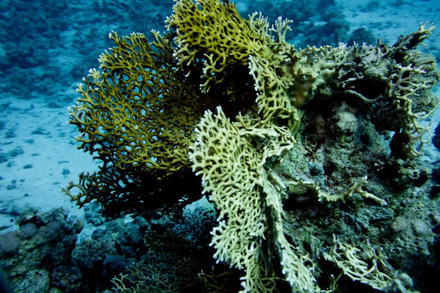 Fan Coral along the Sinai Peninsula showing signs of bleaching