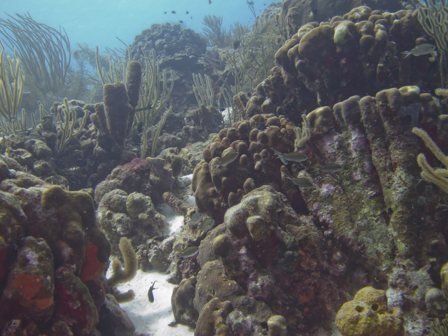 Coral Garden in Bonaire at 50 ft.