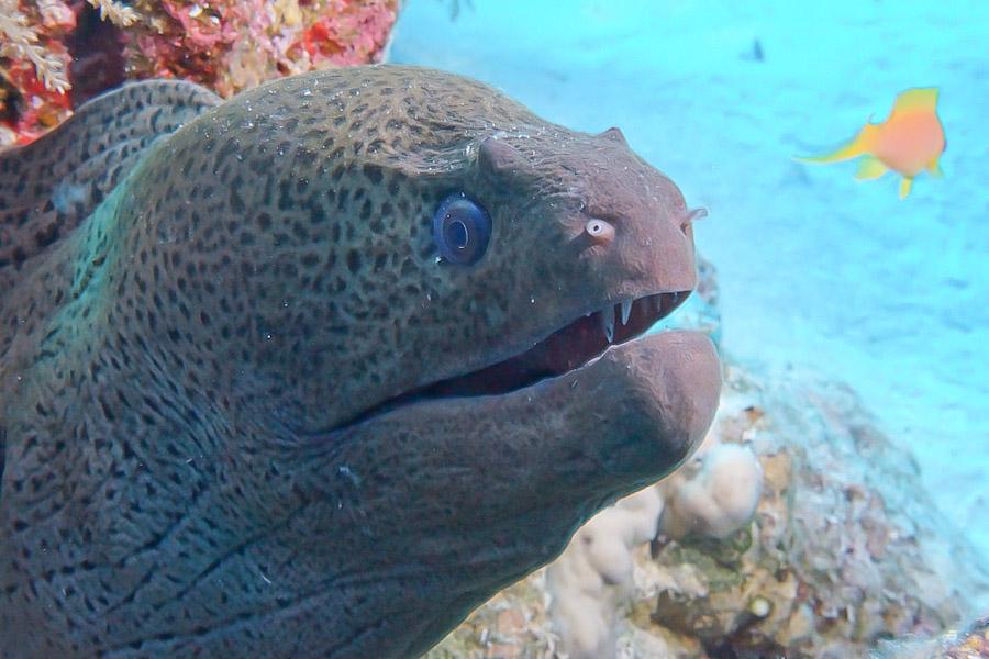 Moray eel in the Sinai