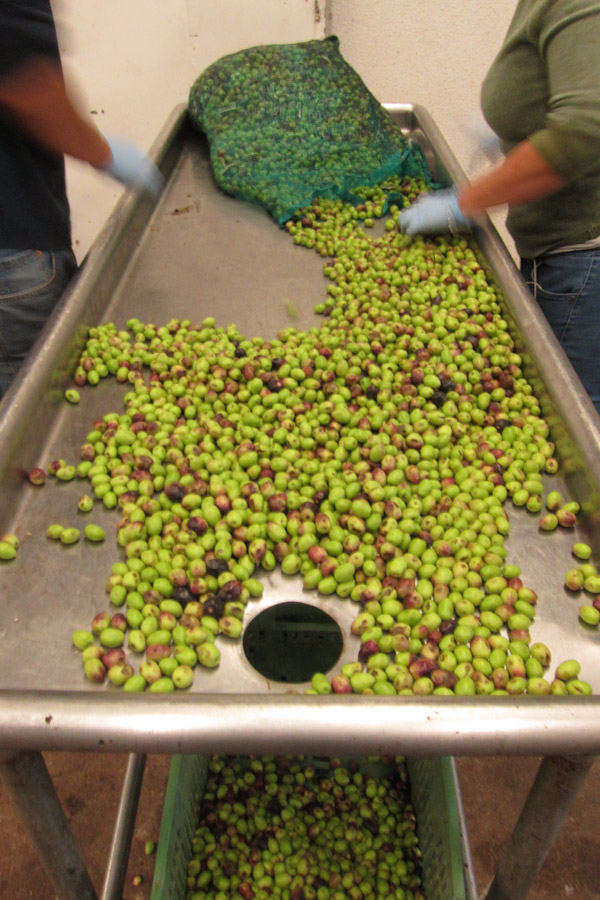 Hand-sorting olives and removing leaves