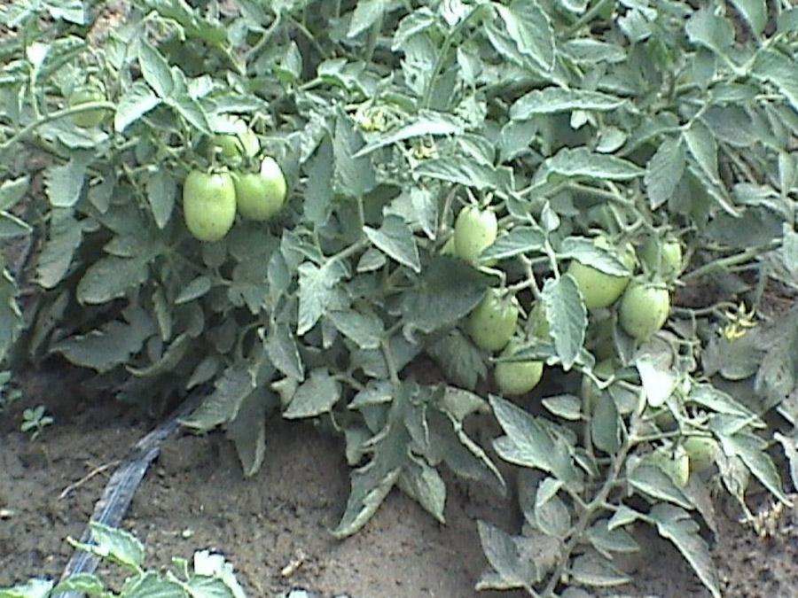 Seagate Roma Tomatoes