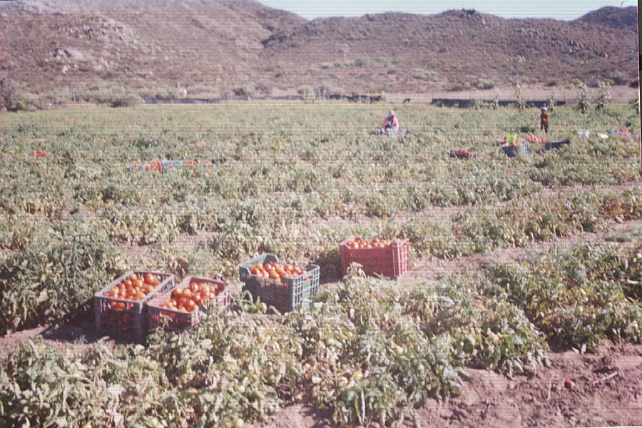 Harvesting tomatoes on Seagate's farm
