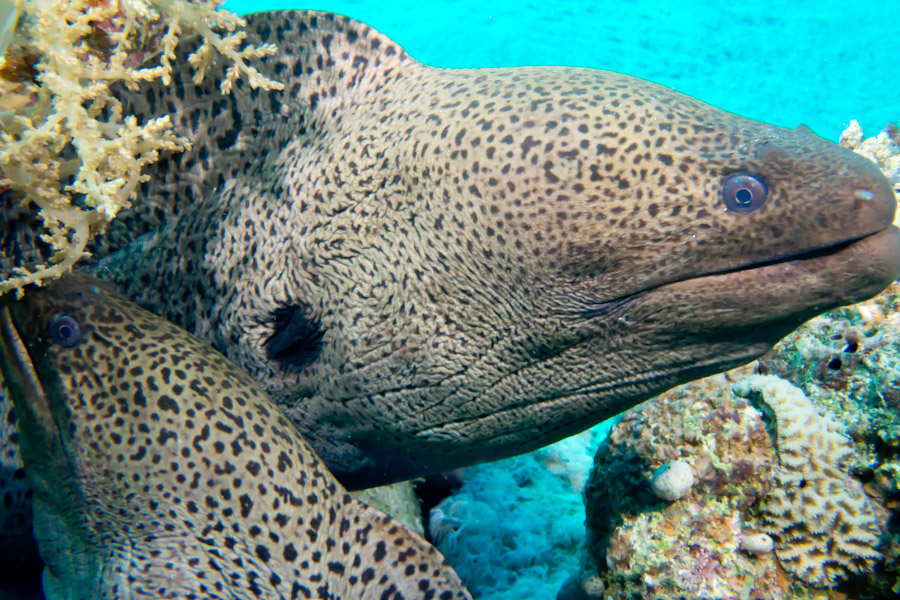 Second Moray Eel arrives to share the home with its friend