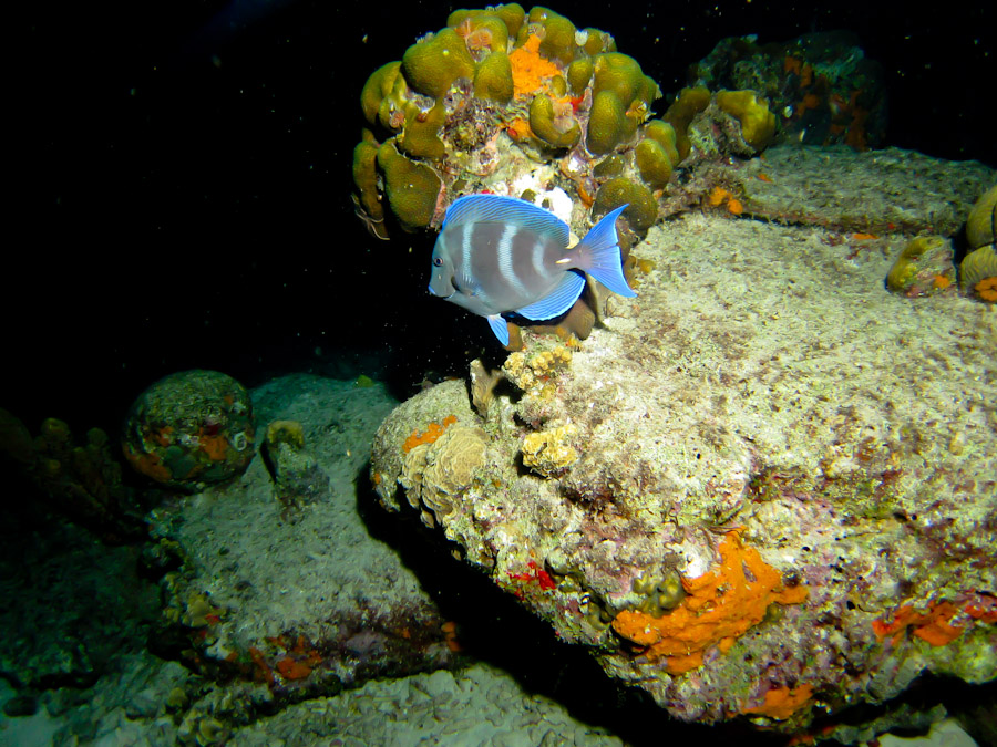 A Blue Tang swimming slowly at night off Bonaire