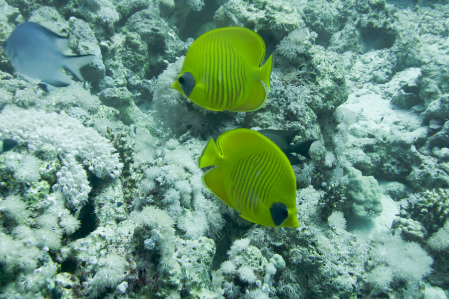 Two Angelfish along the Sinai coast