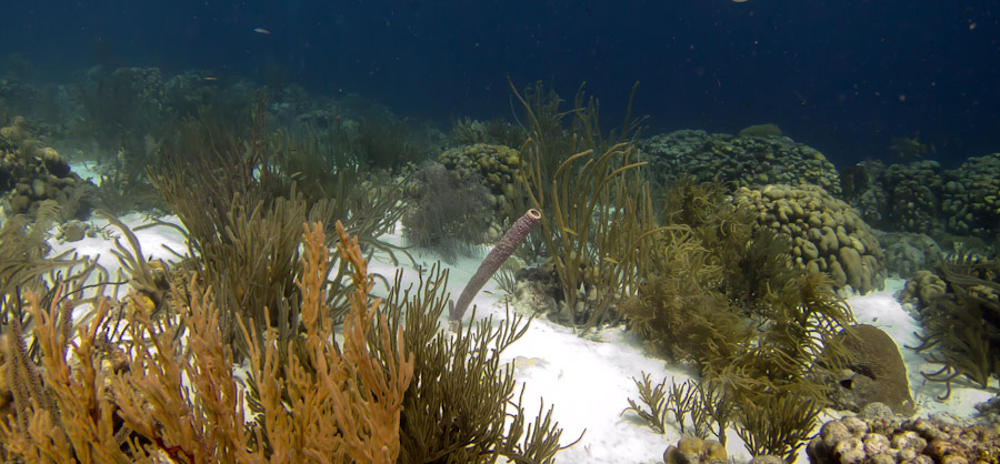 Bonaire reef with soft and hard corals