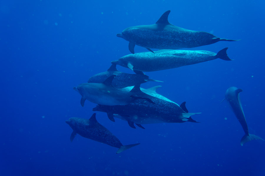 A pod of Common Atlantic Dolphins