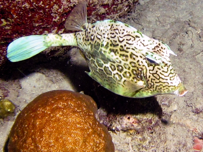 Honeycombed Cowfish at night on Bonaire reef