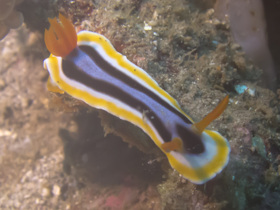 Nudibranch swimming above reef in Lembeh Straits, Indonesia