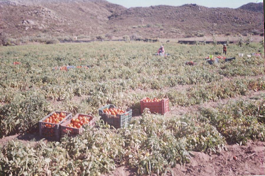 Seagate tomato farm
