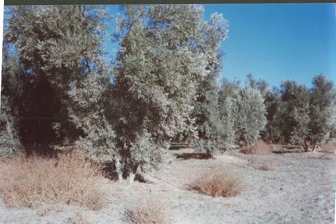 Seagate Olive trees used as wind-breaks