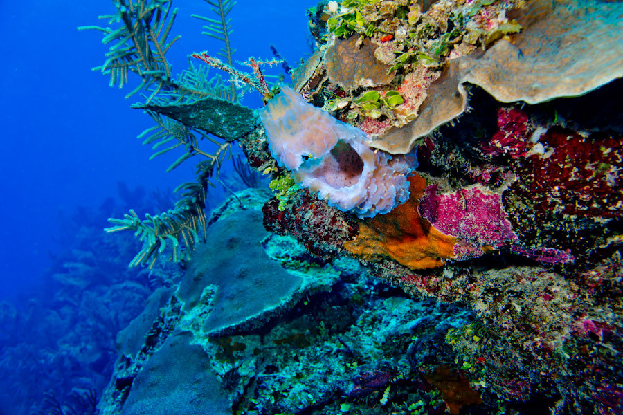 Coral wall off Belize