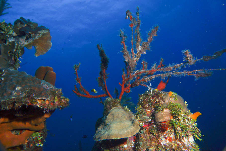 Hard and soft corals growing along a wall off Belize