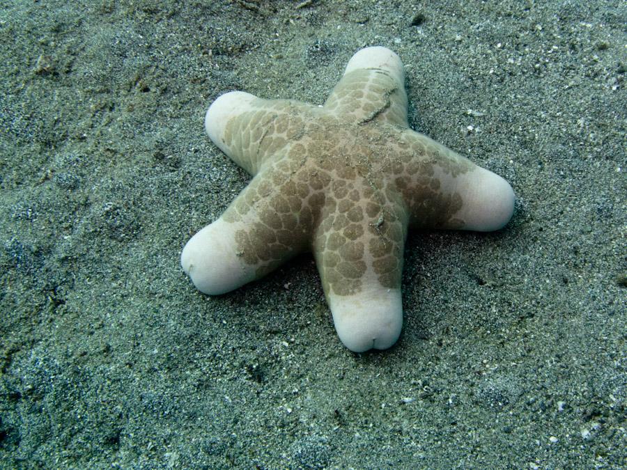Starfish on sandy bottom, Lembeh Strait
