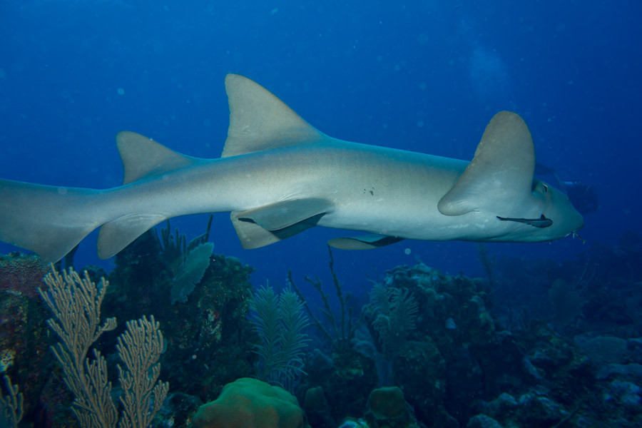 Nurse Shark passing by