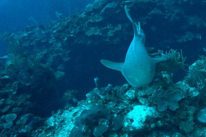 Nurse Shark Belize Coast