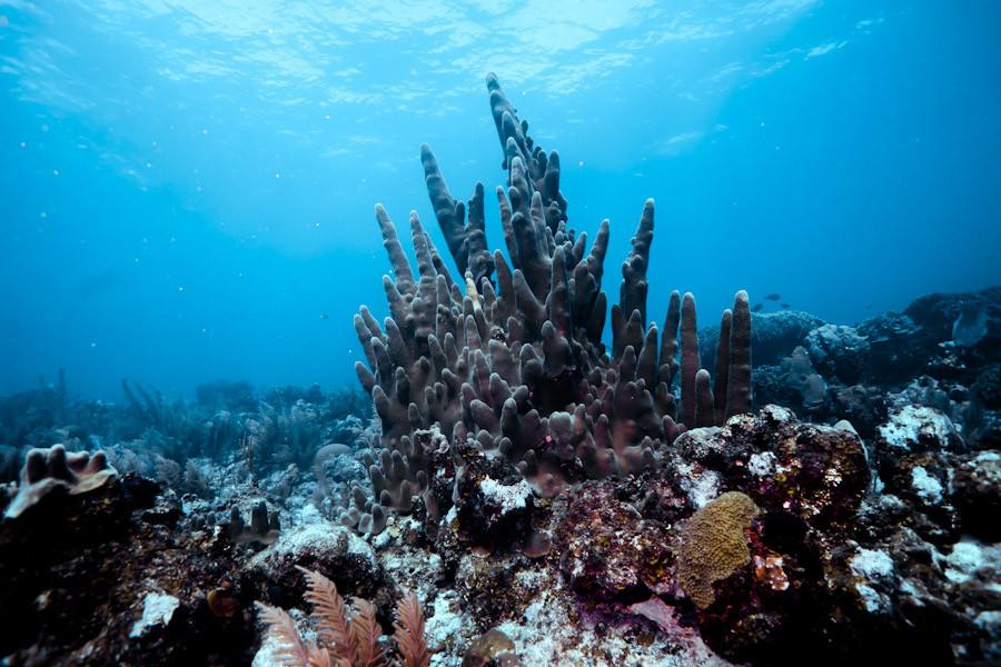 Pillar Coral, Belize