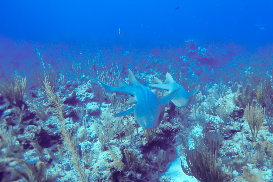 Nurse sharks attack