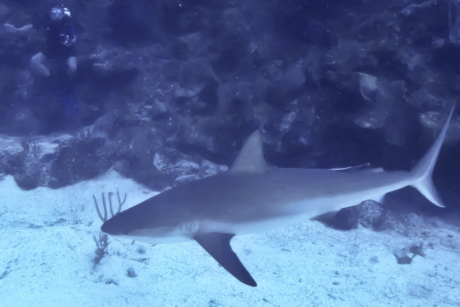 Grey reef shark Belize, 110 ft.