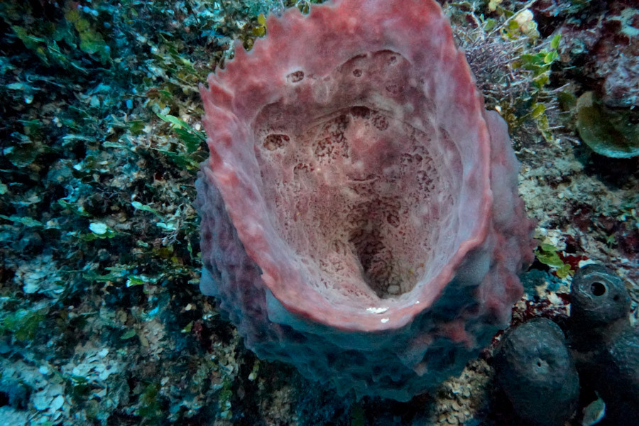 Hard Cup Coral