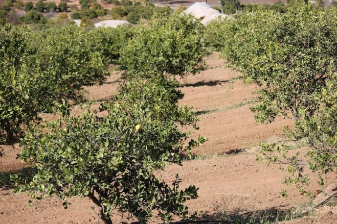 Seagate Lemon trees
