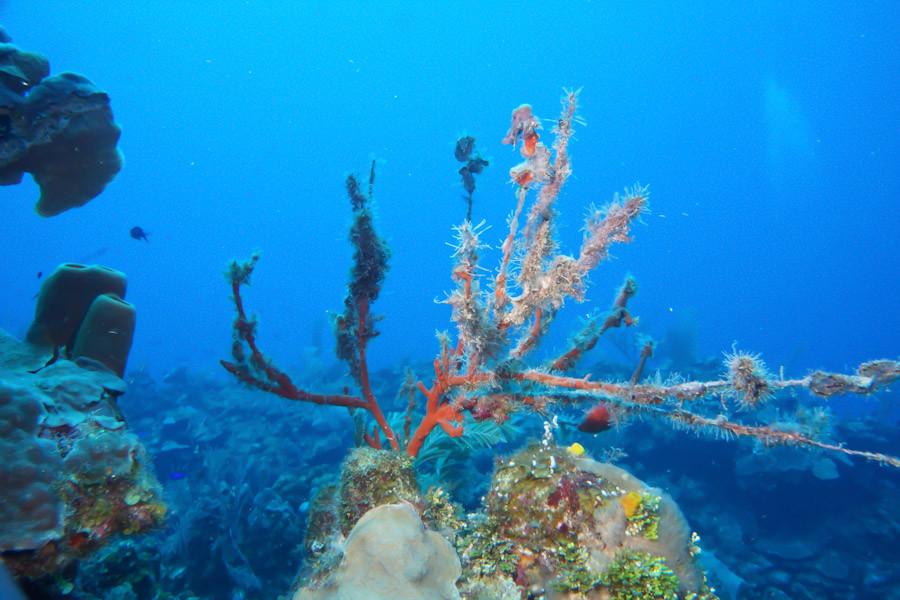 SeaRod coral with algae growths