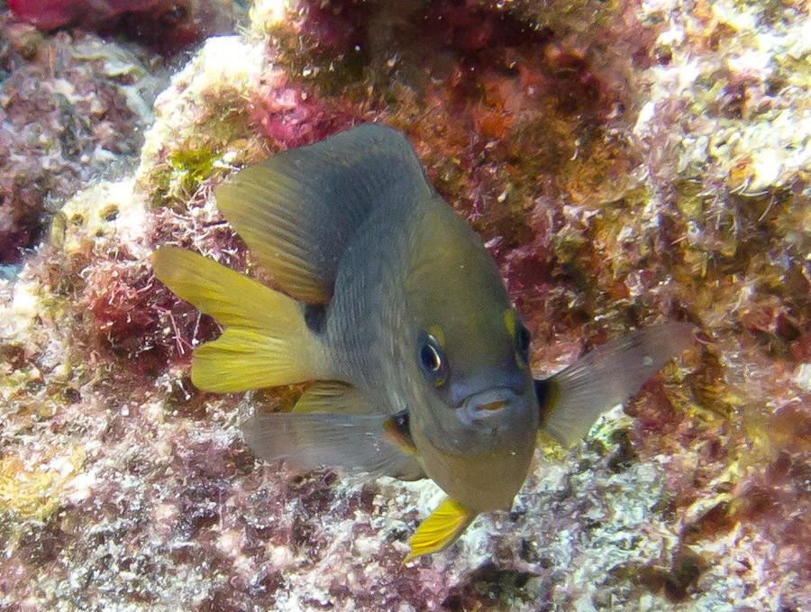 Threespot Damselfish, Bonaire