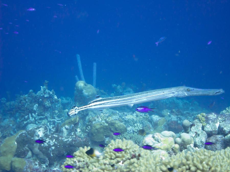 Trumpetfish cruising in Bonaire