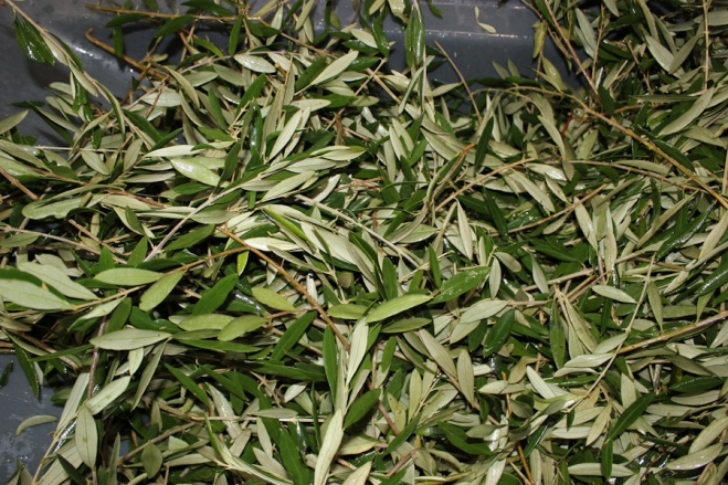 Where can i buy olive leaves
