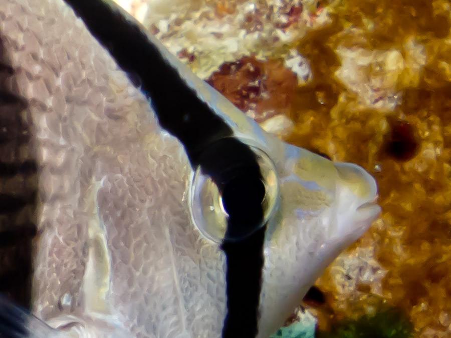 Butterflyfish eye with stripe
