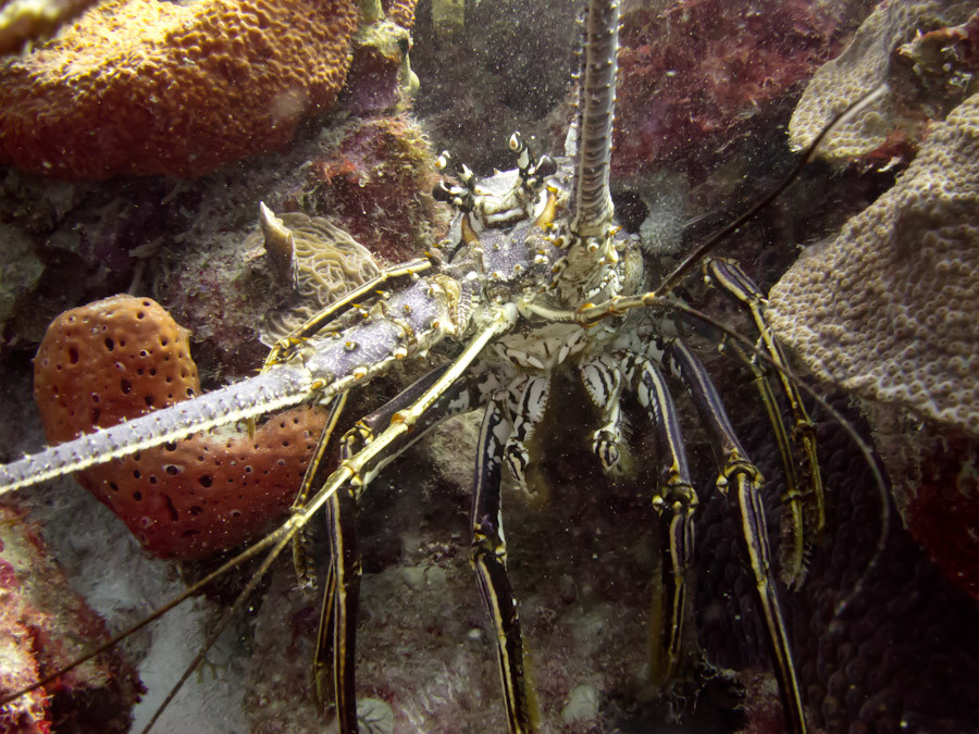 Lobster emerging from hole