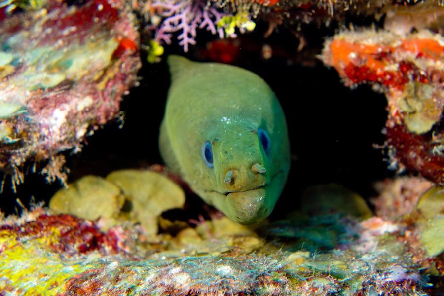 Moray eel Belize