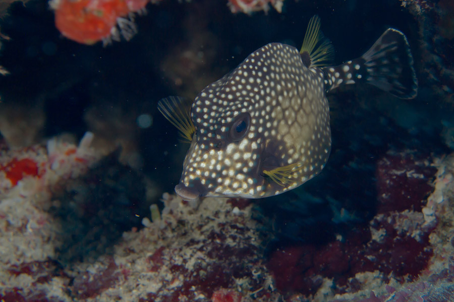 Smooth Trunkfish, Caribbean