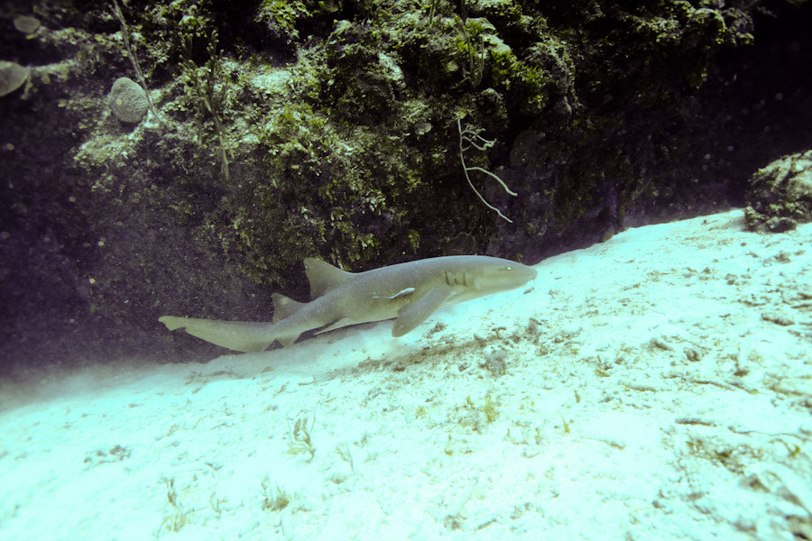 Nurse shark cruising  nearby