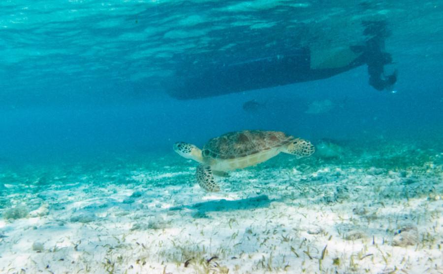 turtle 5 belize