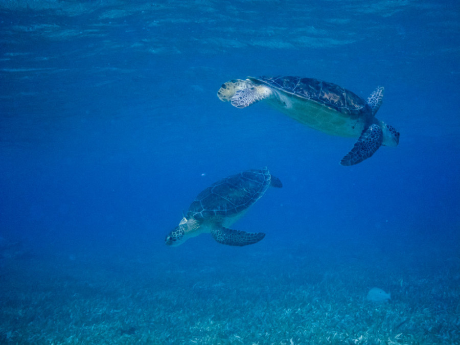 turtles Belize 3-18-2011